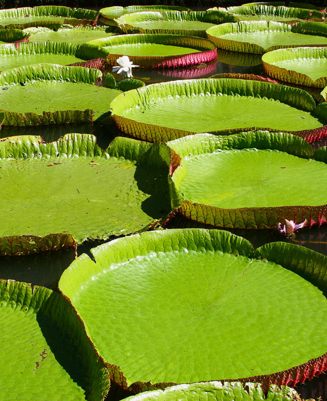 Water lilies i Mauritius